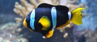 black and yellow clown fish. Exellent Black Photo Image Clownfish Facts Yellow White And Black Color Intended And Clown Fish K