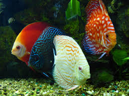Discus Fishes
