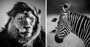 black and white animal photography. Wonderful And Dramatic Black And White Photos Of African Wildlife By Laurent Baheux   Bored Panda Inside Animal Photography C