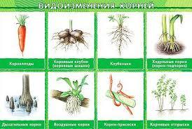 Как написать доклад на тему Виды изменения корней биология  Видов видоизмененных корней очень много и есть даже такой оригинальный вид корня как корни живущие в симбиозе с грибами