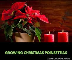 growing poinsettias saving and caring for your holiday gift container plants