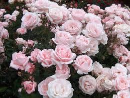 Cuidados Para Cultivar Rosas En MacetaCuidados De Los Rosales