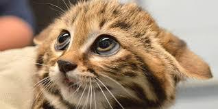 blackfooted cat kitten