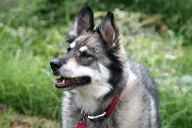 white german shepherd wolf mix puppy. Contemporary Puppy White German Shepherd Wolf Mix Husky In Puppy R
