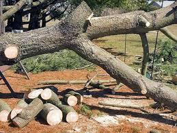 """Résultat de recherche d'images pour """"abattage arbres oran"""""""