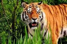short essay on tiger the national animal of short and long short essay on tiger the national animal of short and long paragraph on the