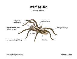 Spider Anatomy Chart Creepy Crawly Insects Lessons Tes Teach