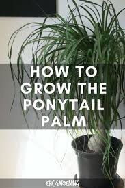 How to grow the beautiful ponytail palm indoors, no matter how green your  thumb is