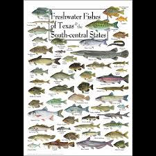 Texas Fish Chart Freshwater Fishes Of Texas South Central States Poster