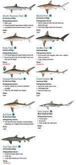 Sharks Maryland Fishing Regulations 2019 Eregulations