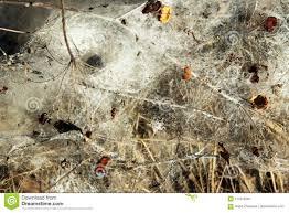 Turf Disease Mycelia Of Typhula Blight Or Snow Mold Stock Image Image Of