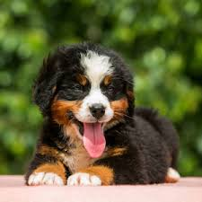 bernese mountain dog puppies. Perfect Dog For Bernese Mountain Dog Puppies R