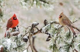 winter cardinal wallpaper. Beautiful Winter Winter Cardinal Wallpaper  Photo23 Inside Cardinal Wallpaper N