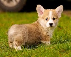 cutest corgi puppy. Contemporary Puppy On Cutest Corgi Puppy O