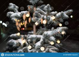 Close Up Of A Pine Cone Or Fir Cone In A Conifer Tree At A
