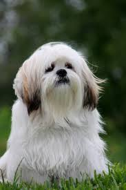 glen of imaal terrier dog breed information pictures