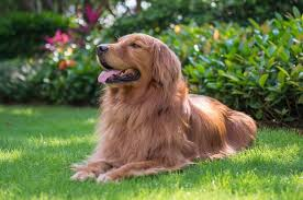 Golden Retriever Puppy Feeding Chart Red Golden Retriever The Complete Dog Breed Guide All
