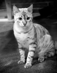 white bengal cat.  Cat Your Furry Friendly And Have Been Necessary Bengal Cat Bites Wash  To White Cat E
