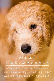 Mini Labradoodle Growth Chart Mini Labradoodle The Miniature Poodle Labrador Retriever