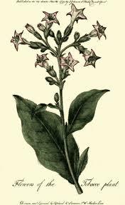 tobacco plant clipart. Interesting Tobacco Tobaccoplant PUBLIC DOMAIN With Tobacco Plant Clipart L