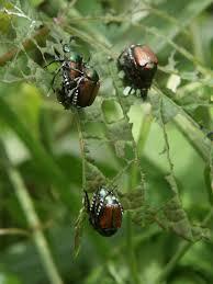 japanese beetles life cycle life cycle of a japanese beetle