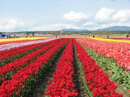 say hello to spring with a little pop of color at the skagit valley tulip festival