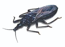 Small Black Flying Bugs In Bedroom Kissing Bugs Assassin Bugs Pest Risk Facts Control