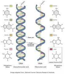 Venn Diagram Comparing Dna And Rna What Are The Differences Between Dna And Rna Quora