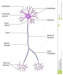 Structure Of Neuron Stock Illustration Illustration Of