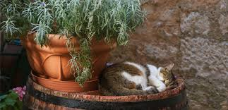 Are Essential Oils Safe For Cats My Pet Needs That