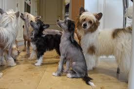 Zeldzame hondenrassen: Zeldzame hondenrassen