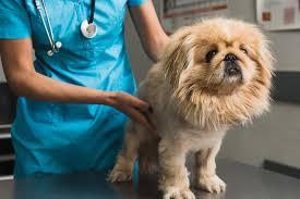Canine Lymphoma Symptoms Skin Cancer Epidermotropic Lymphoma In Dogs Symptoms