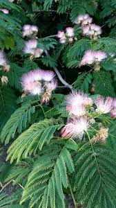 persian silk tree brandeis university flowering plants trees silk trees and plants outdoor artificial plants and