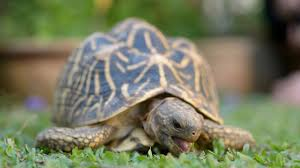 Indian Star Tortoise Diet Chart What To Feed A Star Tortoise