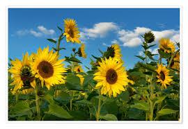 Atteloi Sonnenblumen Poster Online Bestellen Posterloungede