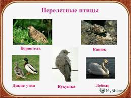 Презентация на тему Птицы осенью Окружающий мир класс УМК  9 Перелетные птицы Коростель Кукушка Дикие уткиЛебедь Канюк