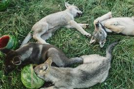 Wolf Puppies Are Adorable Then Comes The Call Of The Wild