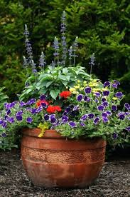 great container plants bright seasonal ornamental peppers capsi