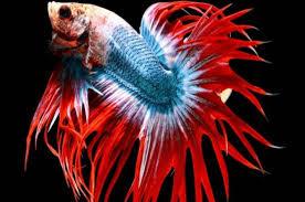 Harga Ikan Cupang Ekor Lebar