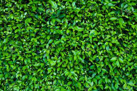 Natural Green Leaves For Background And ...