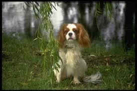 cavalier king charles spaniel puppies for