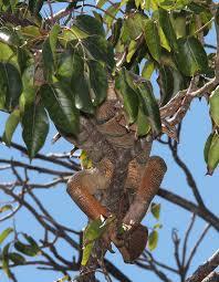 file common green iguana iguana iguana 3 9 13 key west tropical forest and botanical garden key west monroe co fl 03 8608344078 jpg
