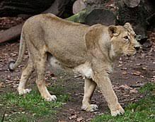 asiatic lion asiatischer loewe panthera leo persica tiergarten nuernberg 22 jpg