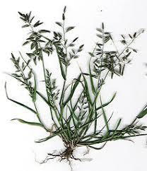 Eragrostis cilianensis - Wikipedia
