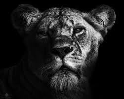 lioness black and white. Simple Lioness Lioness 7 With Black And White A