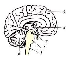Реферат Физиология двигательных функций на уровне ствола мозга Реферат Физиология двигательных функций на уровне ствола мозга