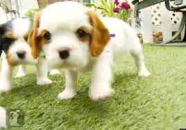 cavalier king charles spaniel puppies are the best thing video huffpost