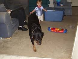 rottweiler dog baby. a black and tan rottweiler dog is walking across carpet, behind it a. \ baby l