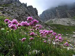 Statice montana o spillone delle Alpi [Armeria alpina]