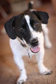 black and white jack russell terrier mix.  Jack Black And White Jack A Bee Throughout Russell Terrier Mix